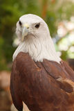 Portrait of Red-backed Sea Eagle Royalty Free Stock Photo