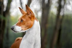 Portrait of a red basenji standing in a summer forest. Basenji Kongo Terrier Dog royalty free stock photography