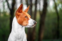 Portrait of a red basenji standing in a summer forest. Basenji Kongo Terrier Dog stock photos