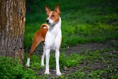 Portrait of a red basenji standing between the trees in a summer forest on the Sunset. Basenji Kongo Terrier Dog royalty free stock image