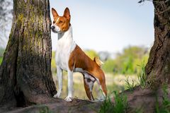 Portrait of a red basenji standing between the trees in a summer forest on the Sunset. Basenji Kongo Terrier Dog stock photography