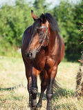 Portrait of red-bay stallion in field with hay Stock Photo