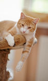 Portrait of a red beautiful cat. Royalty Free Stock Image