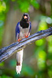 Portrait of Red-billed blue magpie Royalty Free Stock Photography