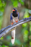 Portrait of Red-billed blue magpie Stock Photo