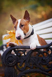 Portrait of a red bull terrier on a bench. In the autumn afternoon Royalty Free Stock Photo