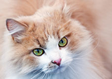 Portrait of a red cat Royalty Free Stock Photos