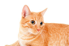 Portrait of a red cat Stock Image
