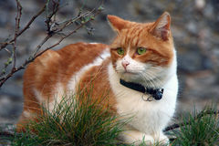 Portrait red cat Royalty Free Stock Image