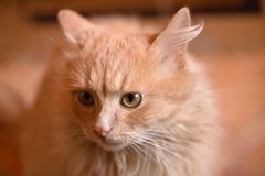 Portrait of a red cat. Animal is depicted closeup the full face. In the home of life. Interior decoration Royalty Free Stock Photos