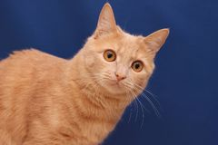 Red cat on blue background royalty free stock photo