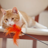 Portrait of a red cat on a chair with a toy. Stock Photo