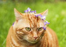 Portrait of Red cat crowned with a chaplet of pansy flowers. Royalty Free Stock Photography