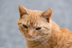 Portrait of red cat. Portrait of cute red cat Stock Images