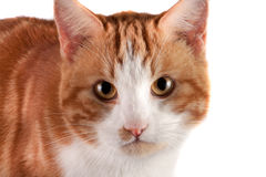 Portrait of red cat looking at the camera isolated on white background.  Stock Image