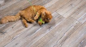 Portrait of red cat playing with toy Royalty Free Stock Images