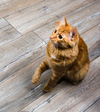 Portrait of red cat playing with toy Royalty Free Stock Photo