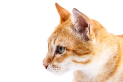 Portrait of red  cat Royalty Free Stock Photography