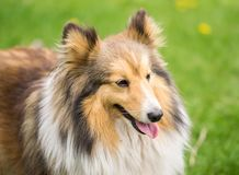 Portrait of a red collie dog on a background of bright green grass stock images