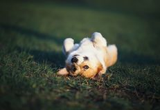 Portrait of funny red Corgi puppy lying on green young grass on spring Sunny meadow to the top of belly. Portrait of red Corgi puppy lying on green young grass stock photo