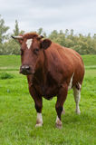 Portrait of a red cow with horns. Standing in the grass Stock Photos