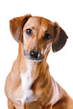 Portrait of the red dachshund. On a white background Stock Images