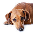 Portrait of the red dachshund. On a white background Stock Image