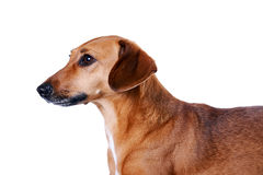 Portrait of the red dachshund. On a white background Royalty Free Stock Image