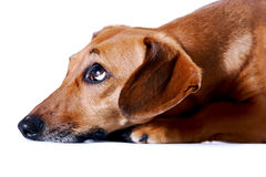 Portrait of the red dachshund. On a white background Royalty Free Stock Photo