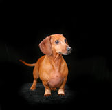 Portrait of a red dachshund. A portrait of a red dachshund dog Stock Photo