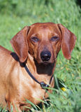 Portrait of red dachshund Royalty Free Stock Photography