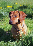 Portrait of red dachshund Stock Photos