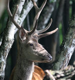 Portrait of Red Deer. Red male deer on natural background - portait Royalty Free Stock Image