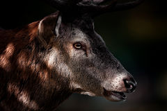 Portrait Of Red Deer Stag In Autumn Royalty Free Stock Image