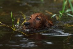 Portrait red dog swiming in blue water on lake Stock Image