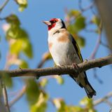 Portrait of goldfinch sitting on a tree branch. Portrait of a red face goldfinch perched on a tree branch Royalty Free Stock Photo