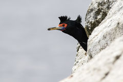 Portrait of red-faced cormorant which looks out from behind the Stock Images