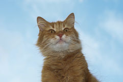 Portrait of a red fluffy cat Royalty Free Stock Photography