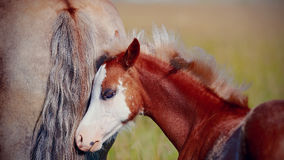 Portrait of a red foal on a pasture. Royalty Free Stock Photography