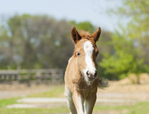Portrait of red foal pony with a white blaze. On his head Royalty Free Stock Image