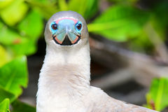 Portrait of Red-footed Booby (Sula sula) Stock Photography