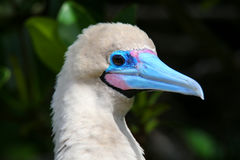 Portrait of Red-footed Booby (Sula sula) Royalty Free Stock Photography