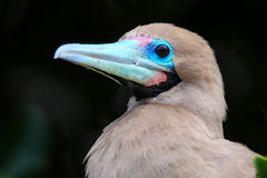 Portrait of Red-footed Booby Sula sula Royalty Free Stock Photo