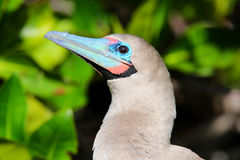 Portrait of Red-footed Booby Sula sula Stock Photography
