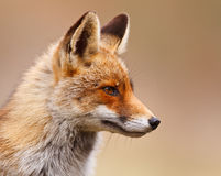 Portrait of red fox. Side portrait of red fox Royalty Free Stock Images