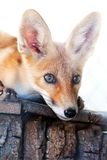 Portrait of a red fox Stock Photos