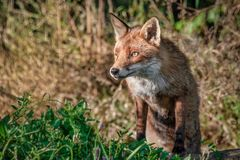 Portrait of a red fox stock photography