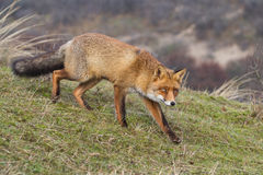A portrait of a red fox Royalty Free Stock Images