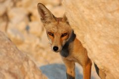 Close-up portrait of a red fox on a sunny afternoon royalty free stock photography