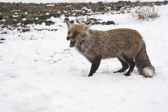 Red fox in the snow Royalty Free Stock Photos